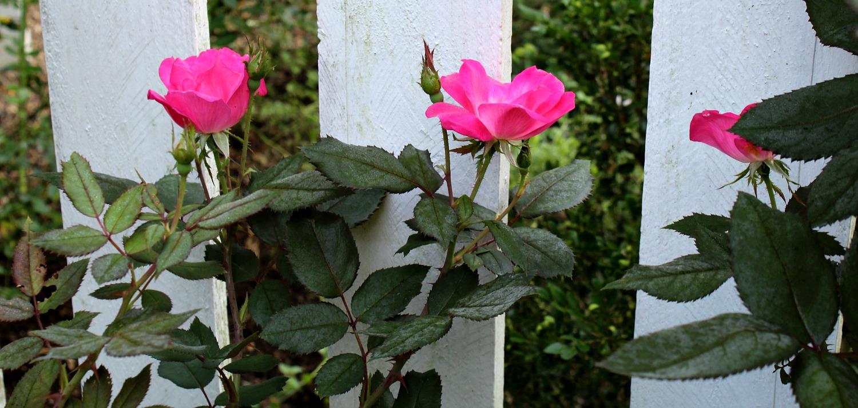finally . . . roses