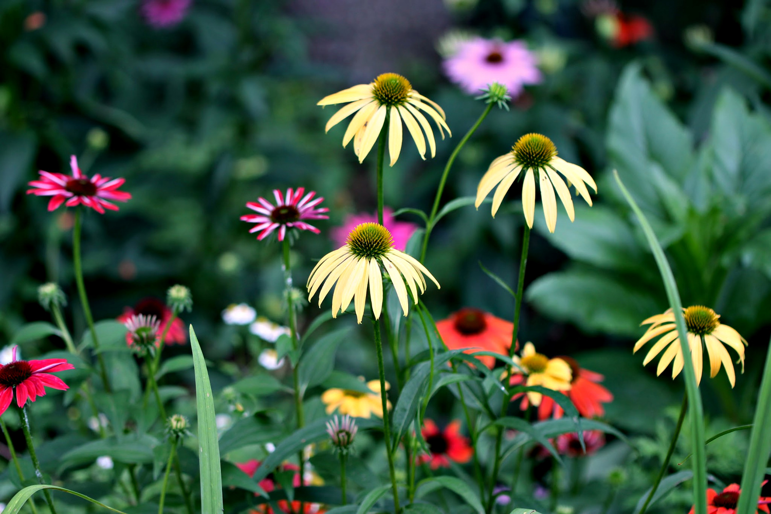 echinacea garden – 2nd summer
