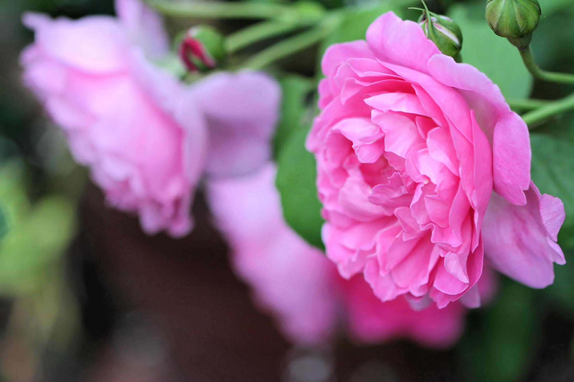 a new rose garden
