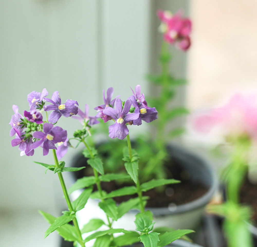 Annual flower Nemesia.